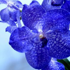 orchidee vanda blue