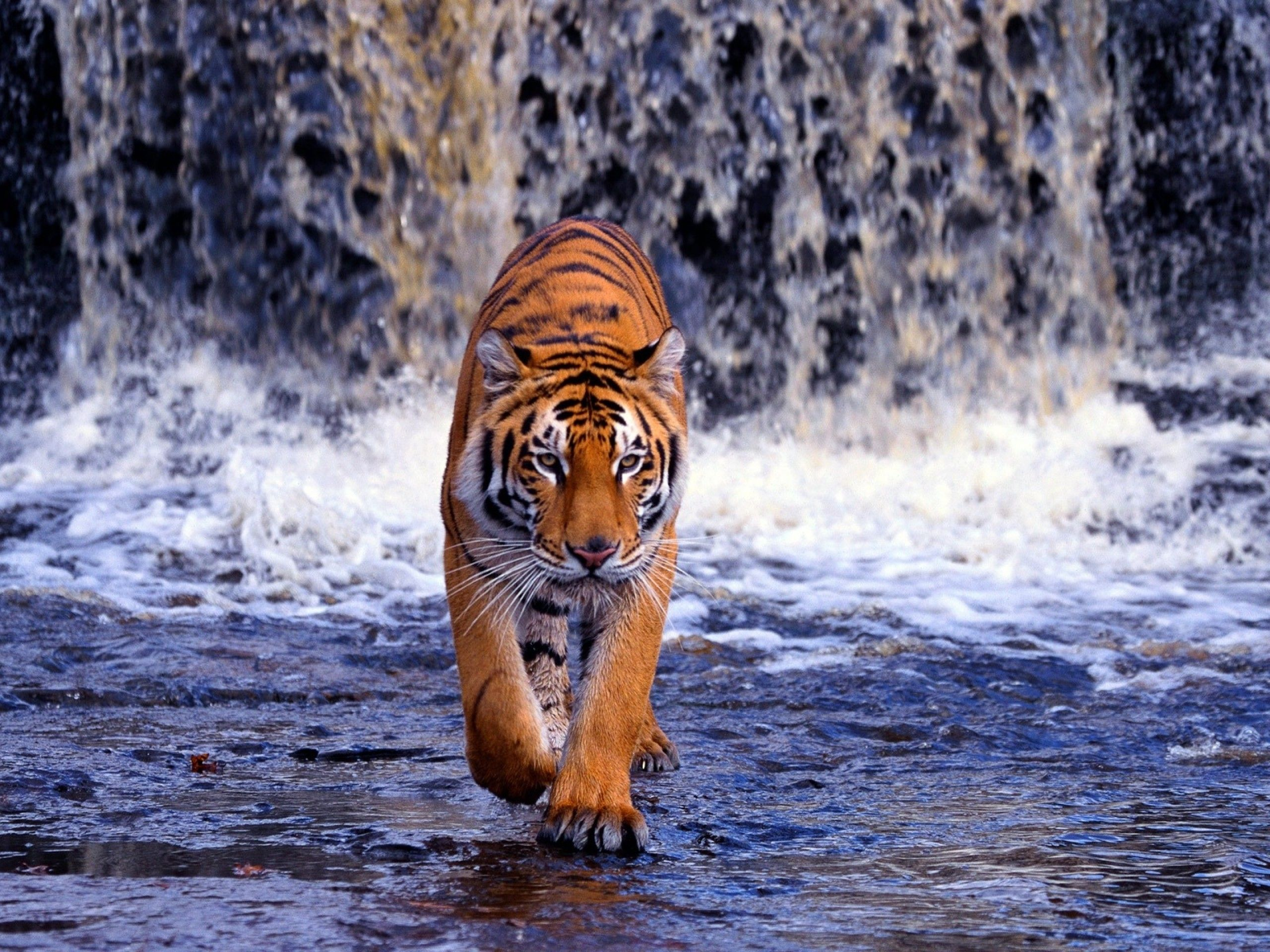 animal wallpaper hd - animals pics - nature animals tiger. royalty