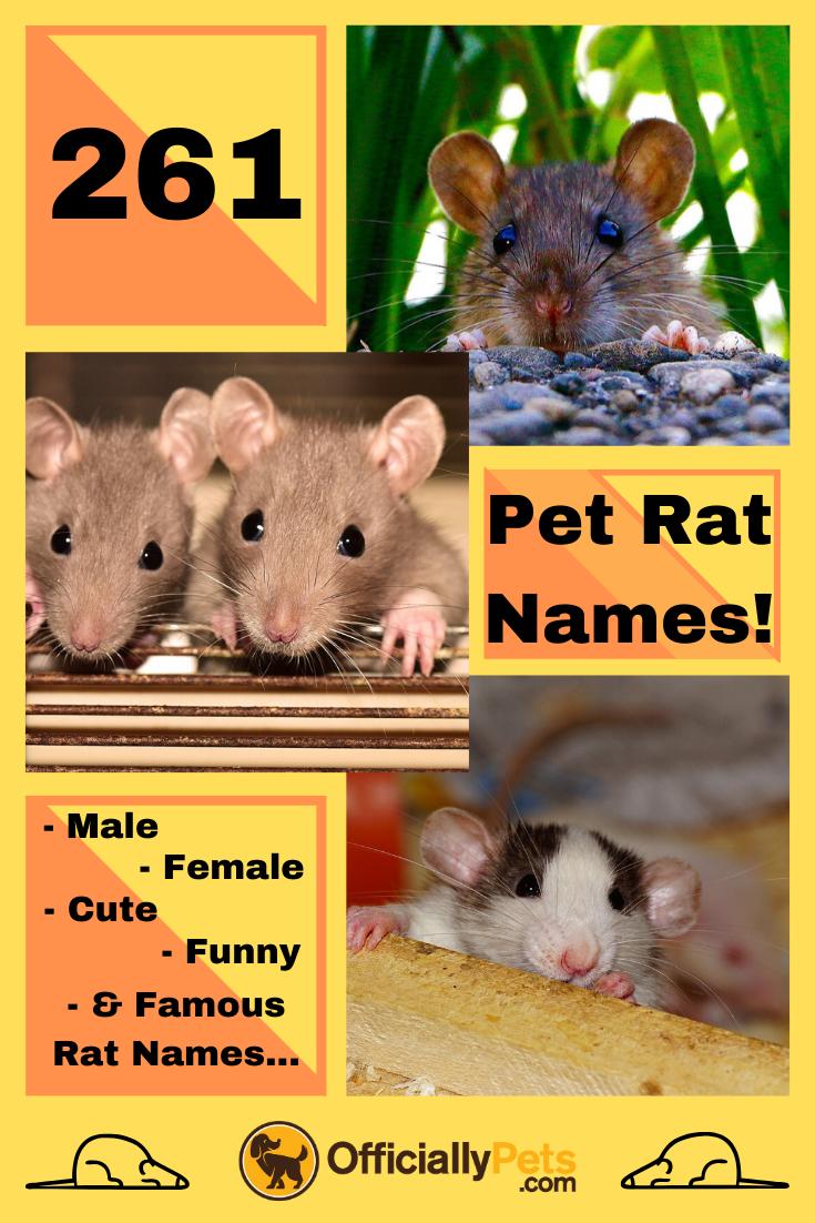 261 Pet Rat Names Male Female Cute Funny Famous Rat Names Pet Rats Funny Animal Names Funny Rats