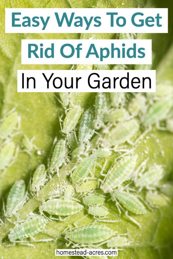 How To Get Rid Of Aphids In The Garden Get Rid Of Aphids Aphids Garden Pest Control