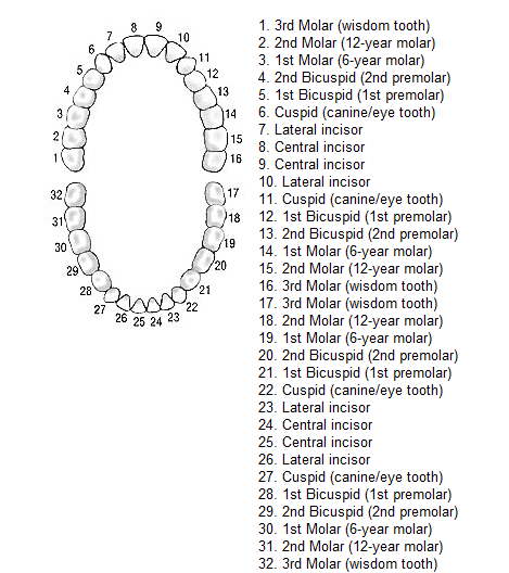 Teeth Numbers  Tooth Number Reference  Geek Blerds Nerds