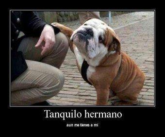 Patitas On Twitter Perros Bulldog Ingles Bulldog Ingles Divertido Perros Bulldog