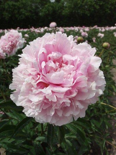 Sarah Bernhardt Peony Produces Large Soft Pink Flowers Of Perfect