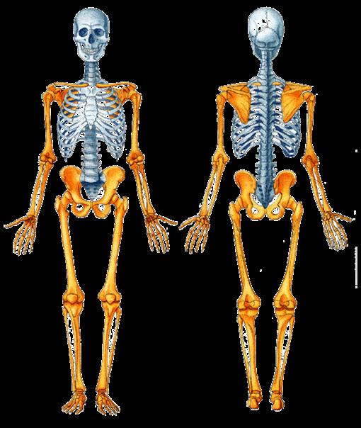 Es la rama de la anatomía que se encarga del estudio del esqueleto ...