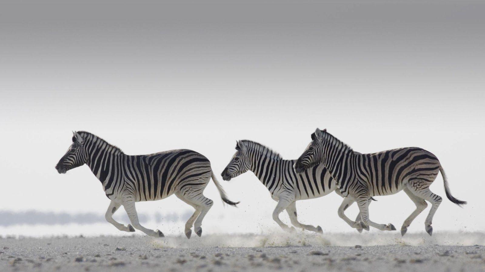 Zebra Delectable Hd Wallpaper Download Zebra Wallpaper Zebra