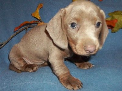 Pin On My Miniature Dachshund Puppies