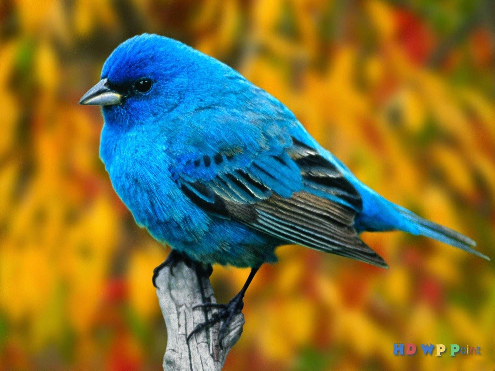 Beautiful Blue Bird Hd Wallpapers Point Beautiful Bird Wallpaper Pet Birds Bird Pictures