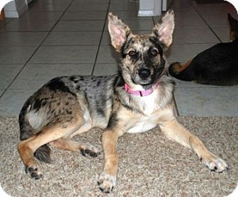 Catahoula Shepherd Mix Catahoula Leopard Dog Catahoula German