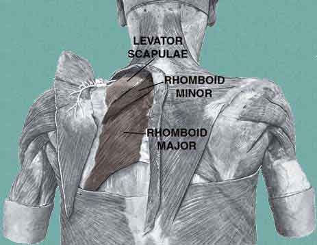 Superficial Layer of Muscles of the Back