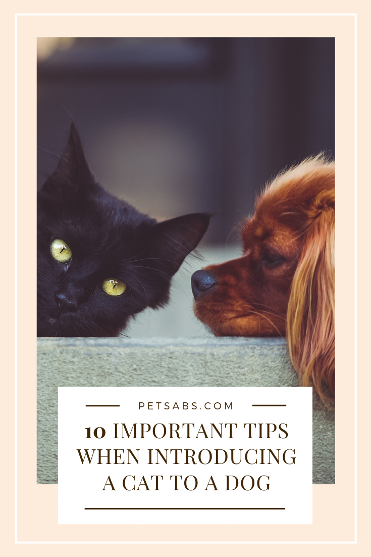 10 Important Tips When Introducing A Cat To A Dog Pet Boarding