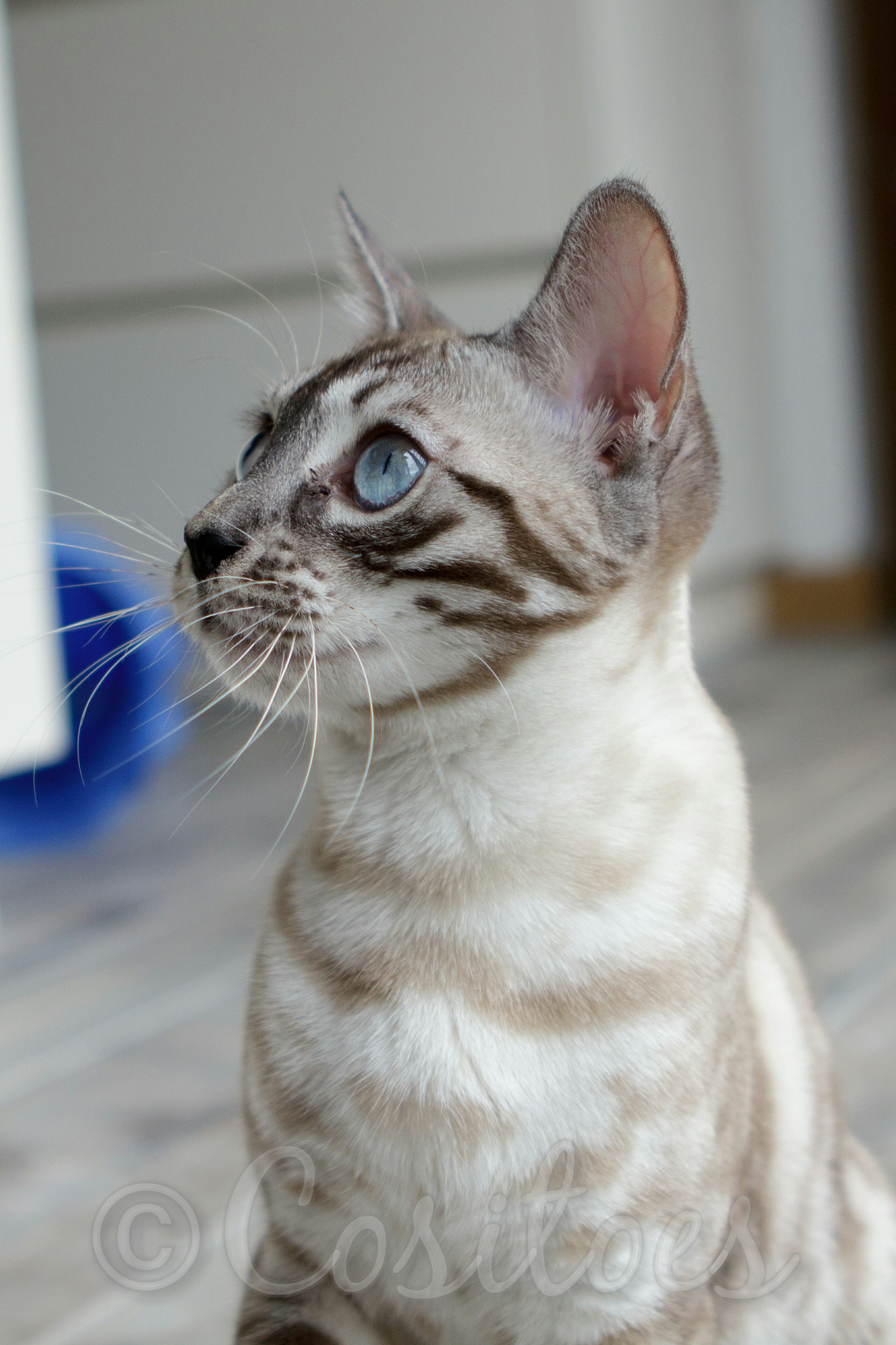 Charcoal Seal Lynx Snow Bengal Cat Cositoes Spectrum | Bengal ...