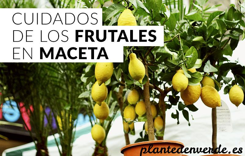 Cuidados de los frutales en maceta ideas para el huerto for Arboles frutales para jardin