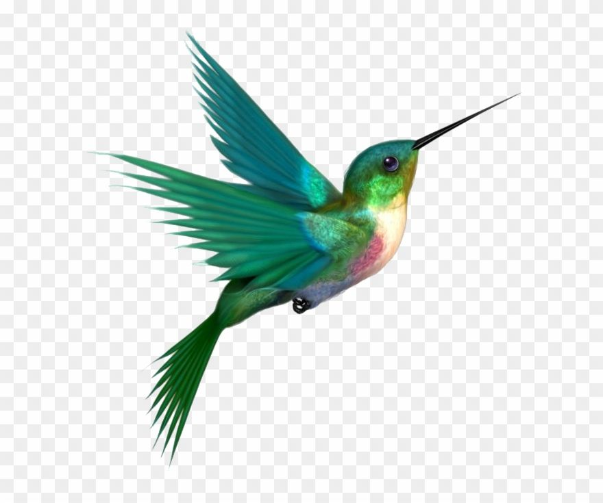 Download Hd Hummingbird Clipart Forest Bird Hummingbird Png Transparent Png And Use The Fre Hummingbird Drawing Hummingbird Painting Hummingbird Illustration