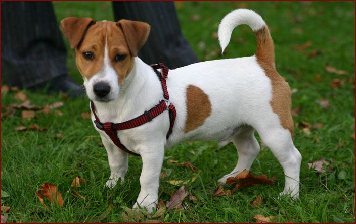 Cool Short Legged Jack Russell Terrier Puppies Images Cagnolini Cuccioli Cani