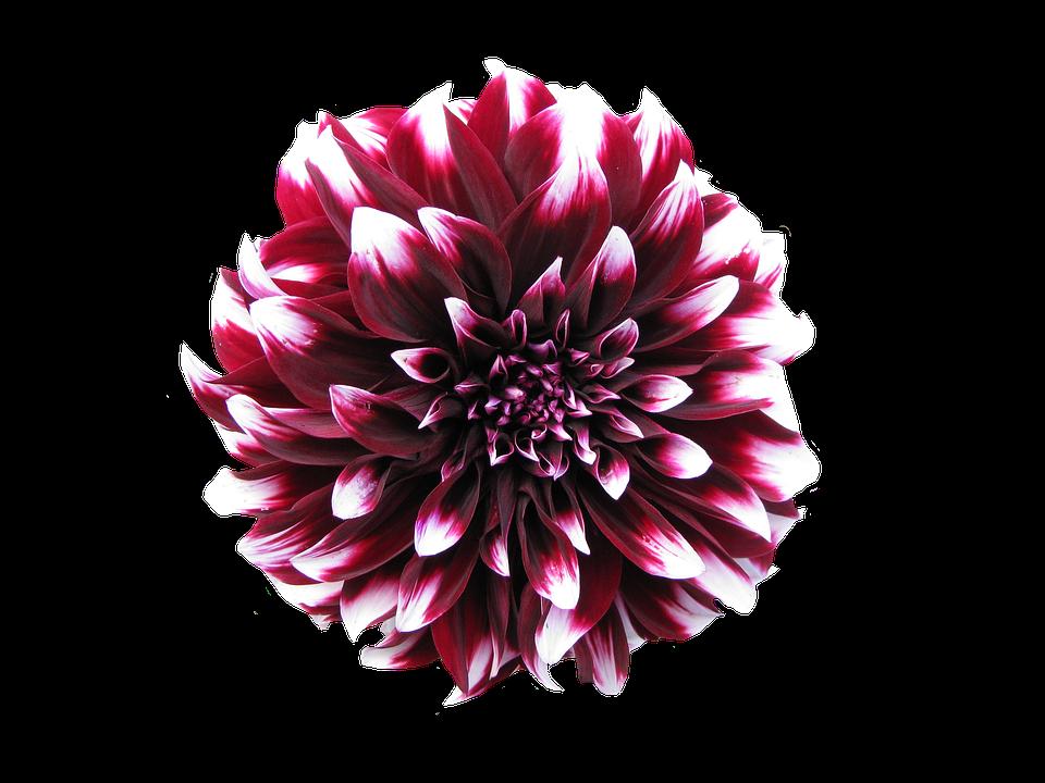 Dahlia Transparent Background Summer Flowering Bulbs Flower Images Flowers