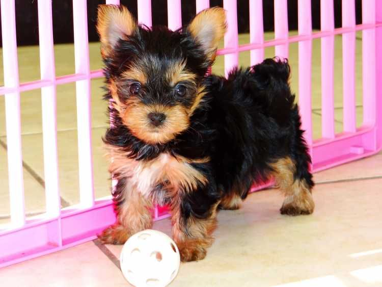 Teacup Yorkie Puppies For Adoption Text 972 798 8812 Potty