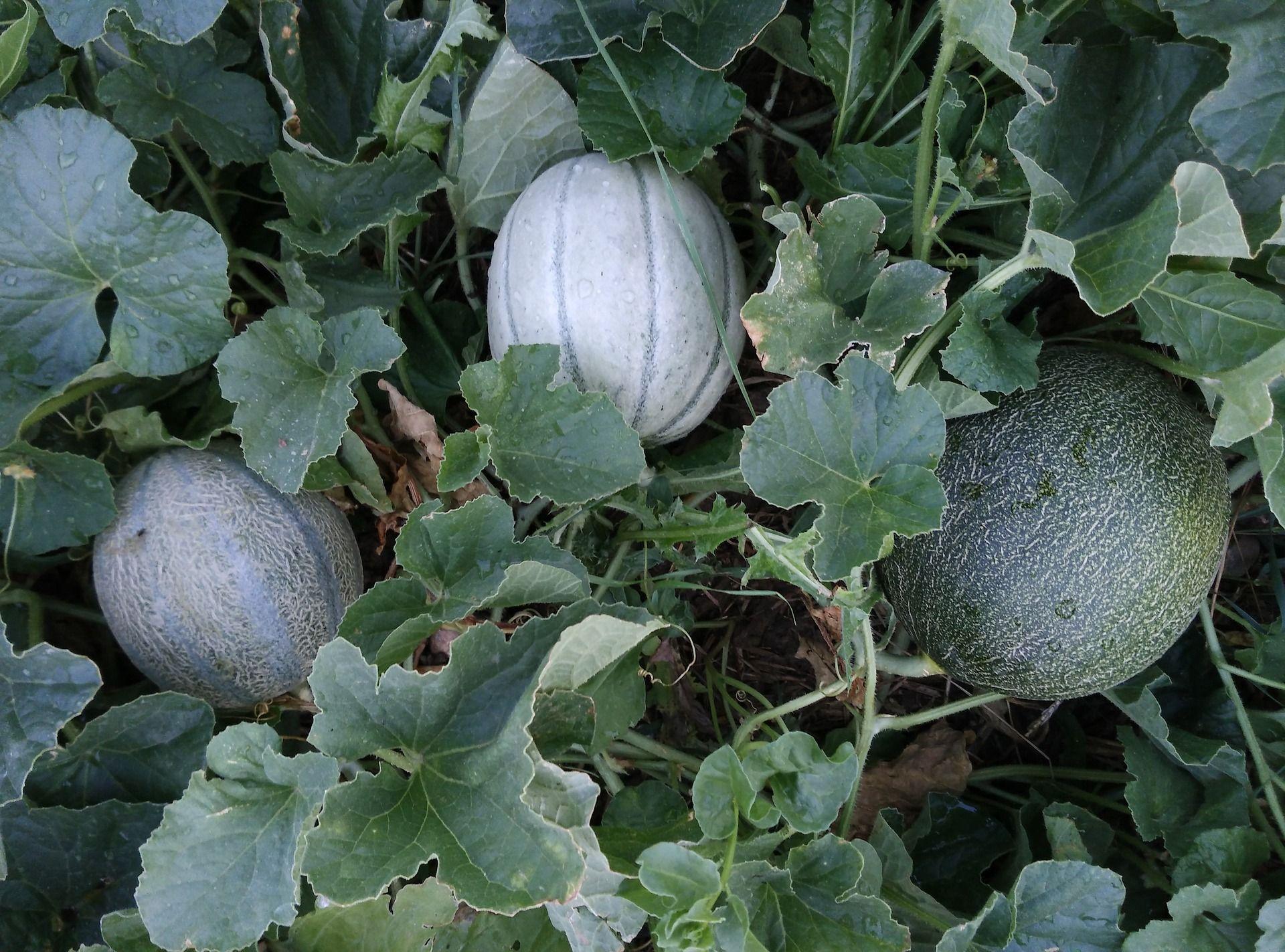 How To Grow Cantaloupe For A Sweet Backyard Harvest 400 x 300