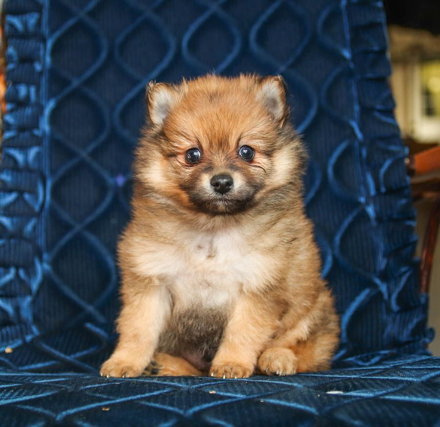 Pin by jorshua on funny animals pomeranian puppy for