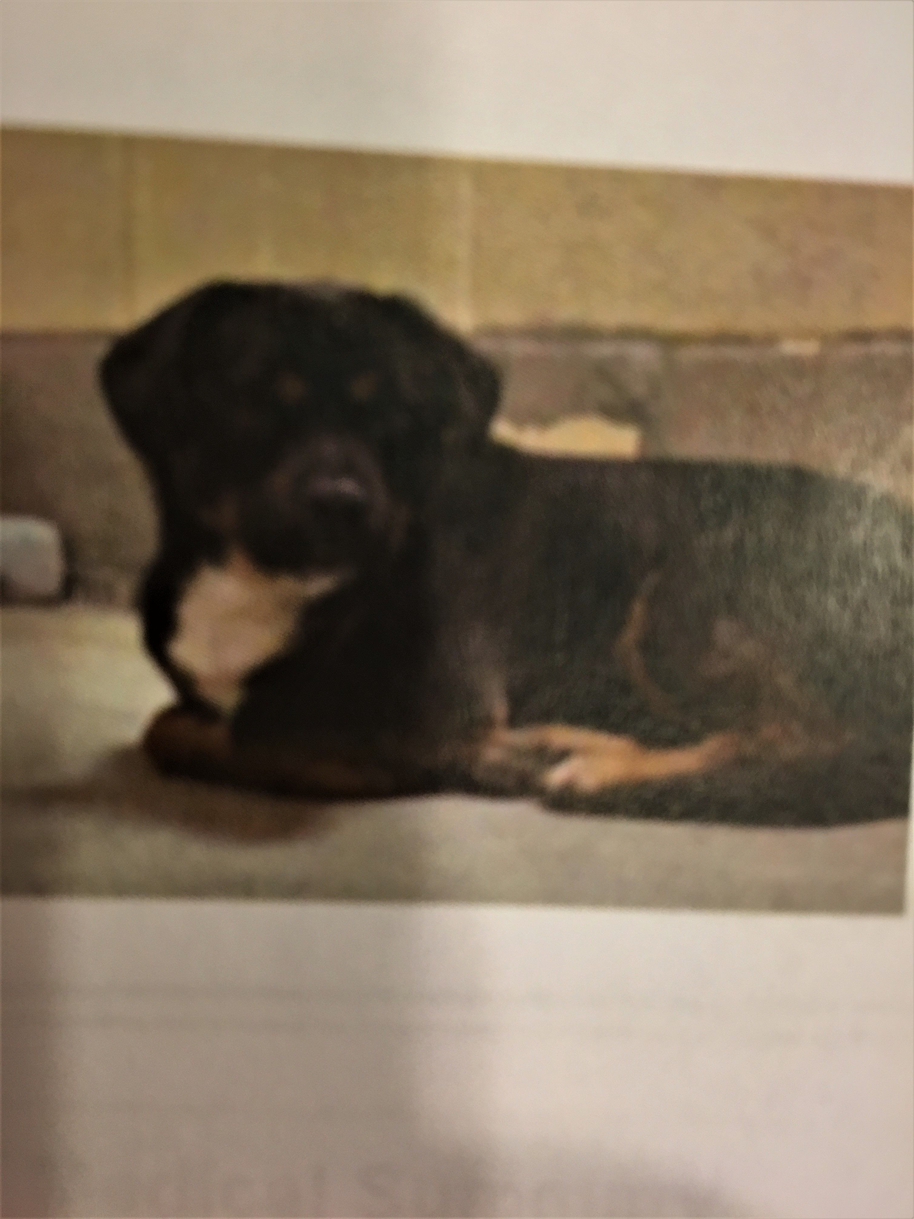 Puggle Dog For Adoption In Fredericksburg Va Adn 501749 On