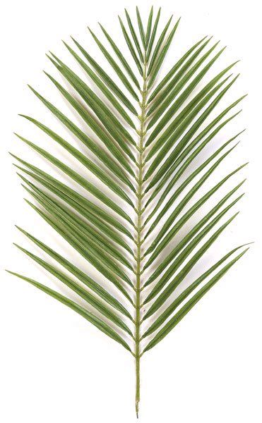 The palm leaf is a symbol in the Christian faith of when Jesus rode into the city of ...