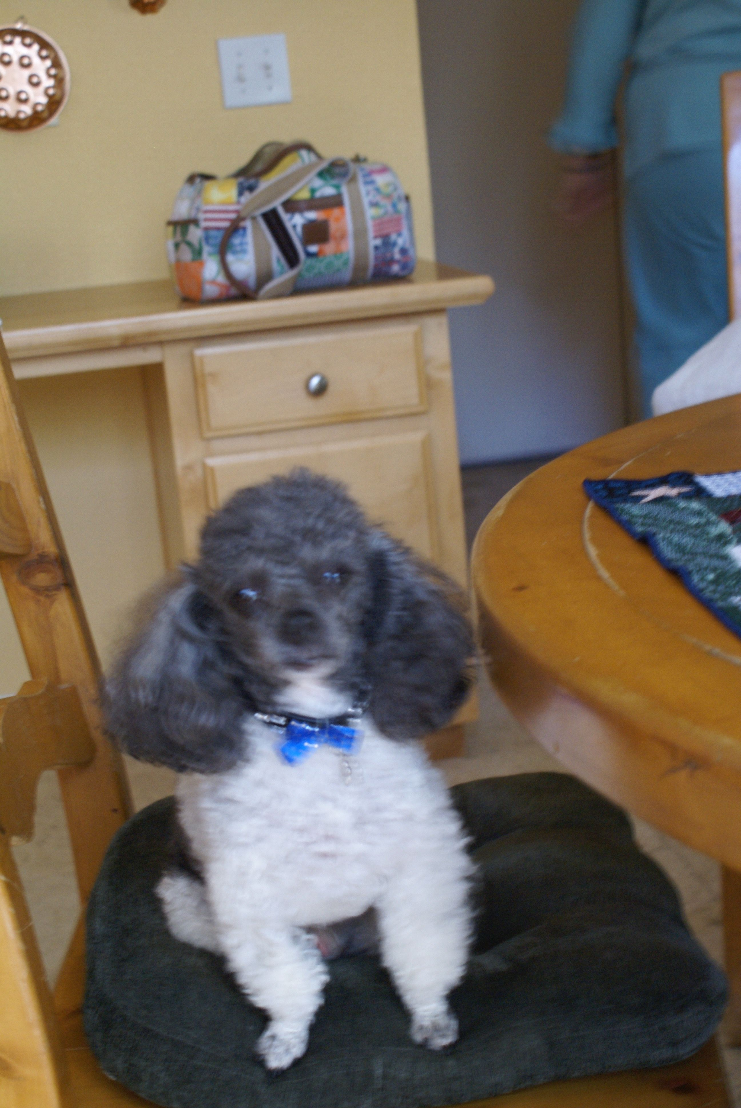 Pin by Jon and Joyce Petri on We have a Toy Parti Poodle