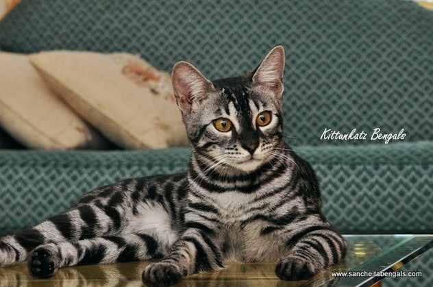 Charcoal Bengal Bengal Charcoal Bengal Cat Bengal Cat For Sale Cute Cats
