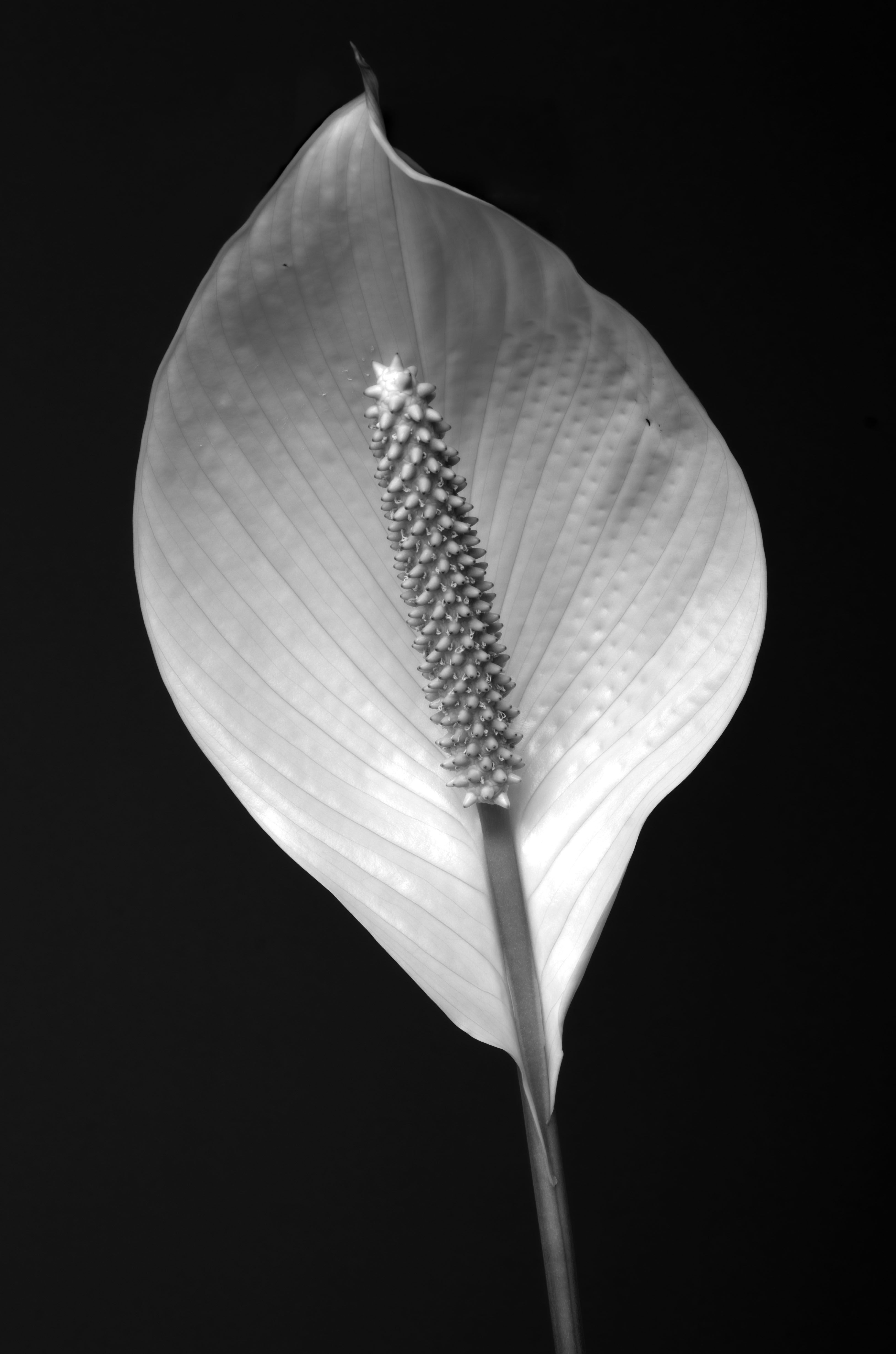 Untitled by Louis Riso inspired by Robert Mapplethorpe