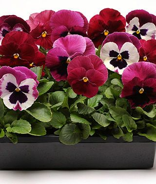 Pansy, Ruby Mix, , large