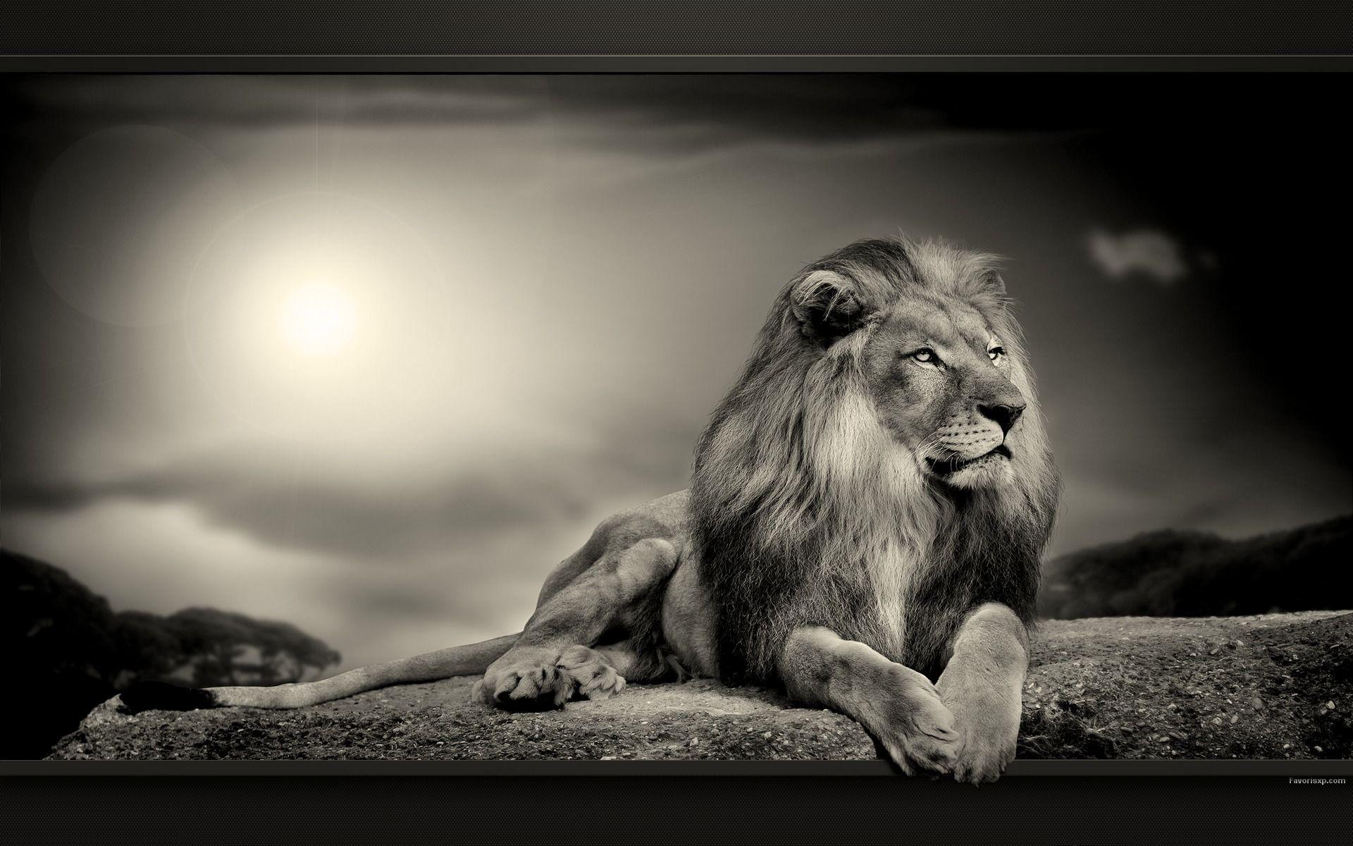 Fonds D Ecran Lions Photos En Noir Et Blanc De Felins Pour Pc Photos De Lion Animales Croix Peintes