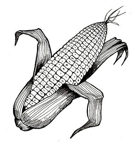 Image Result For Maiz Para Colorear Maiz Dibujo Dibujos Colores