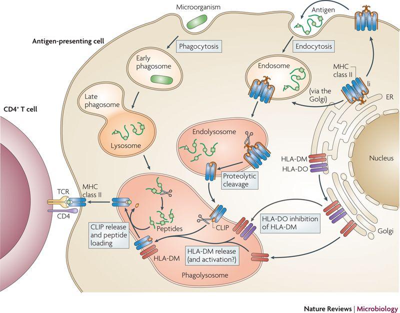 Figure 3 regulation of antigen presentation by