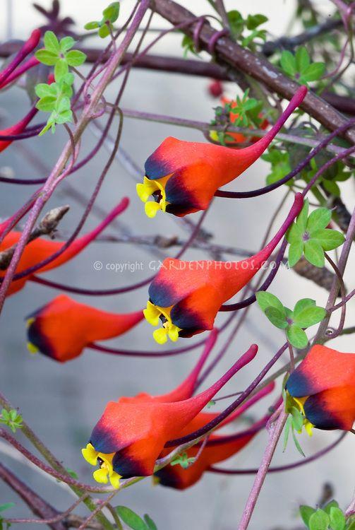Tropaeolum tricolor annual climbing vine bolivian nasturtium in tropaeolum tricolor annual climbing vine bolivian nasturtium in red purple black and mightylinksfo