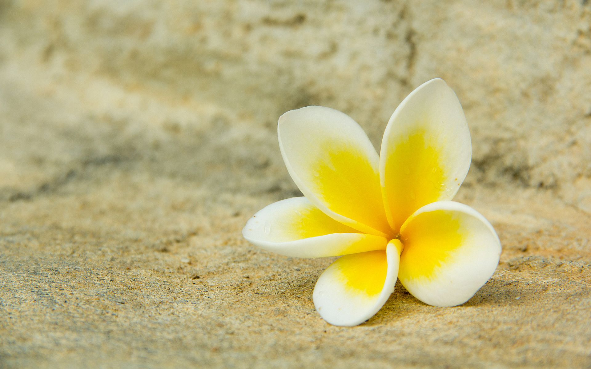white with yellow | white yellow plumeria wallpapers pictures