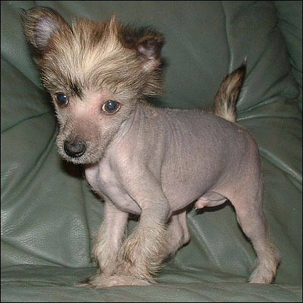 Pin On Chinese Crested