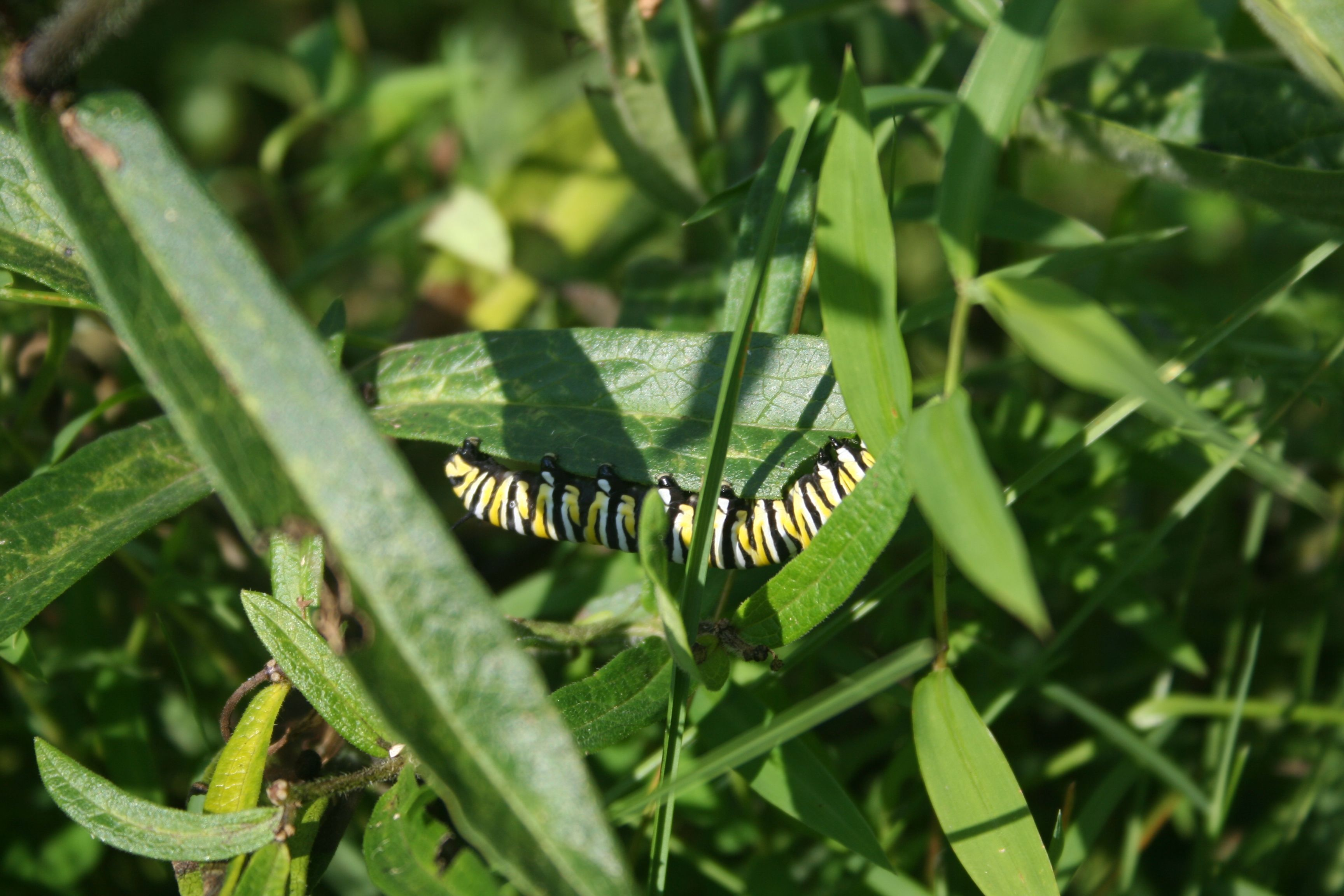 Monarch caterpillar on orange milkweed Plant leaves