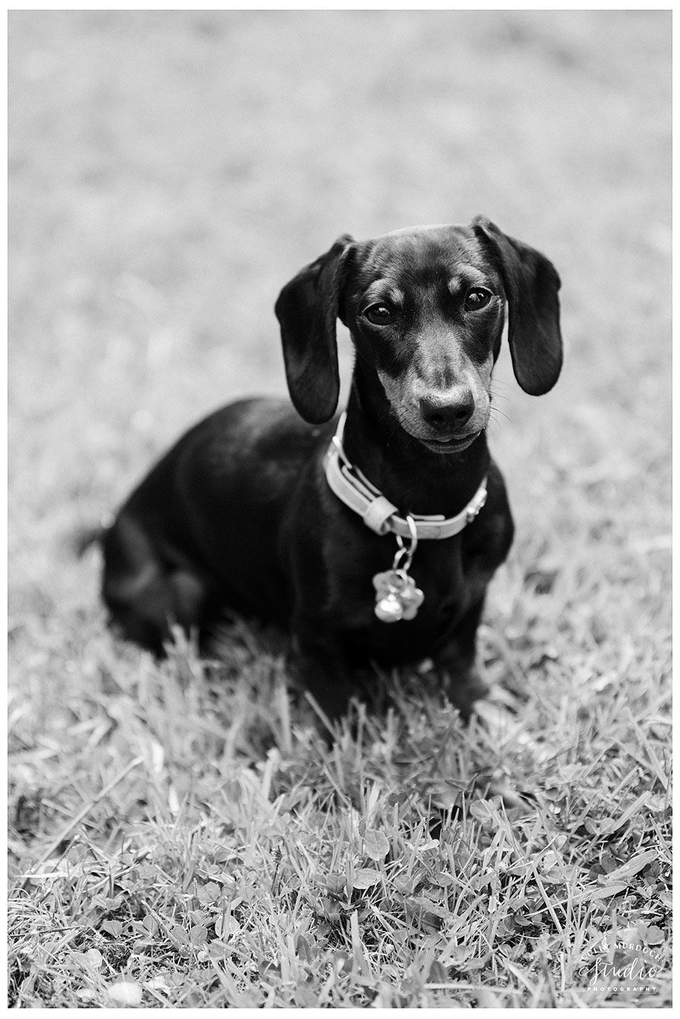 Best Yorkshire Wedding Photography 2017 Doxie Puppies Dog