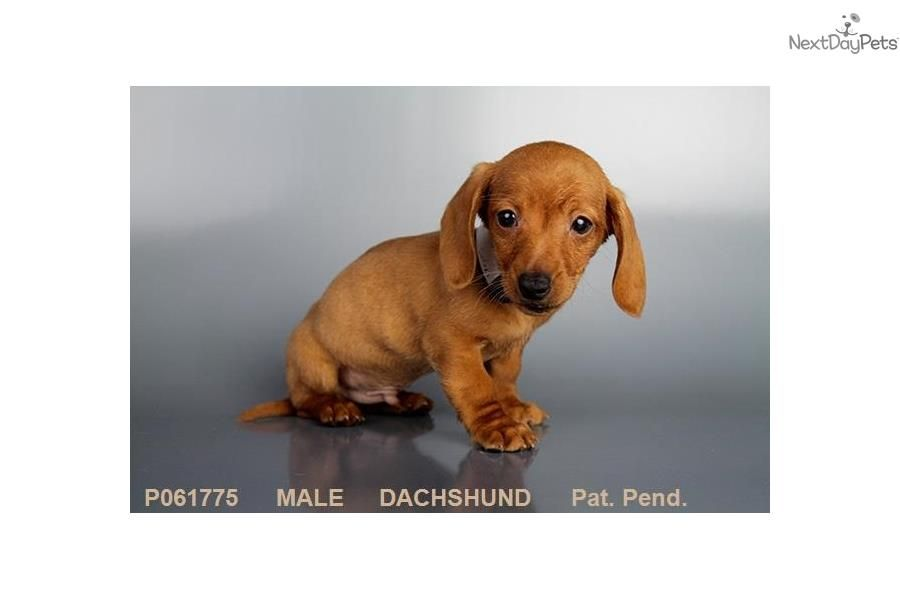 Dachshund Puppy For Sale Near Los Angeles California Da674cb8