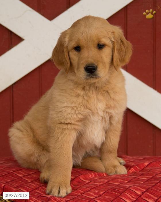 Adorable Golden Retriever Puppy Named Goldilocks Golden