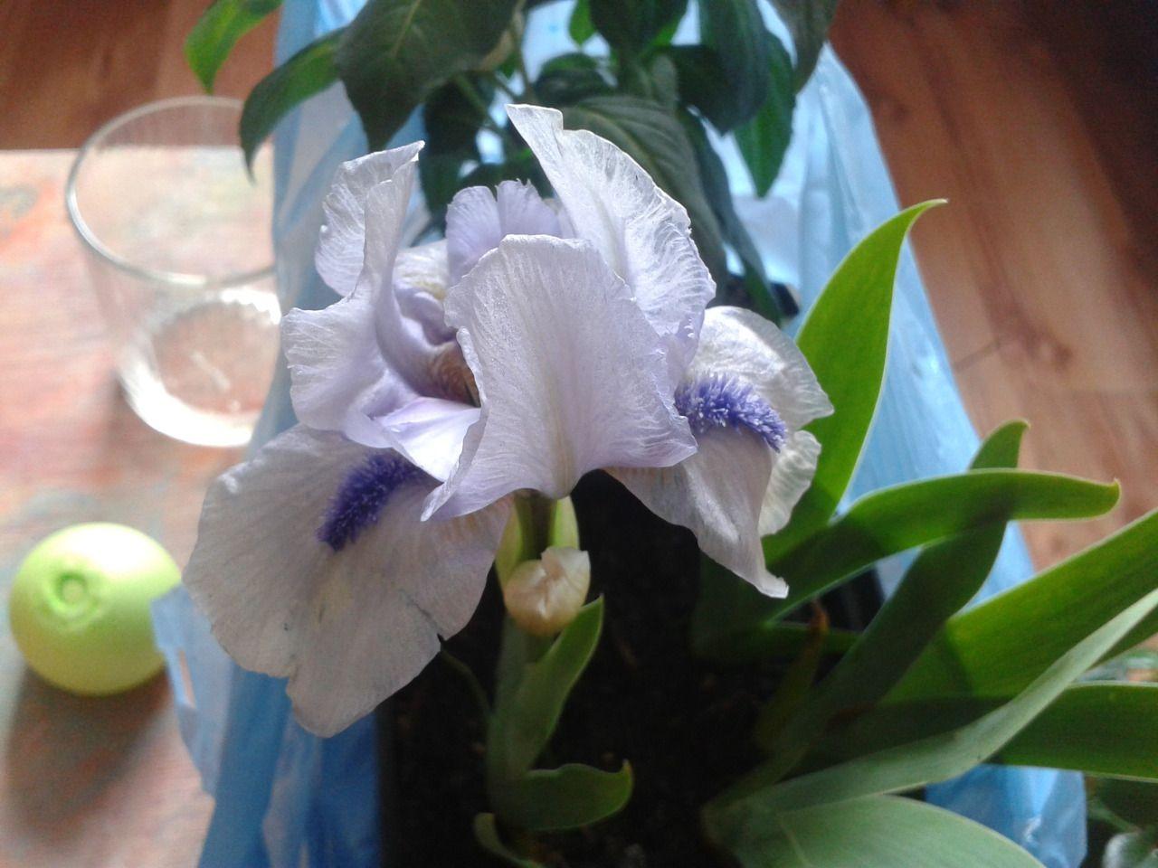 Iris Forever Blue SDB 1997 Chapman, 31 cm, E&R