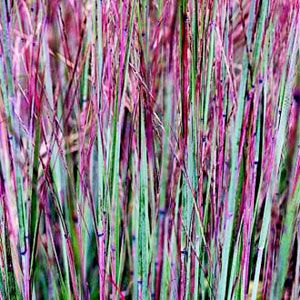 Little Bluestems are mesmerizing plants that add great tones to your fall landscape. #Midwest #garden #landscape