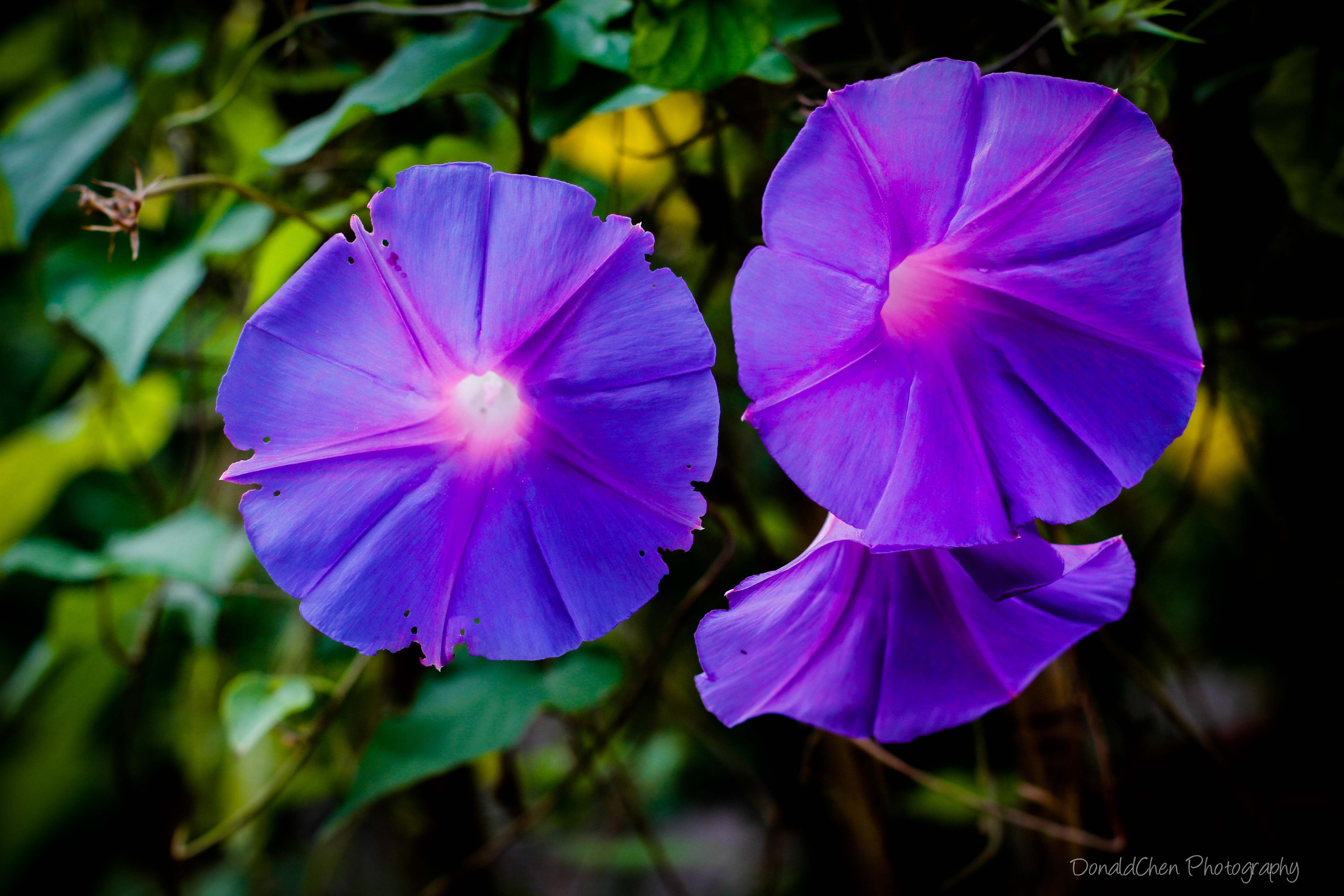 Ground Morning Glory Singapore Flower Its botanical name is Convolvulus Saba