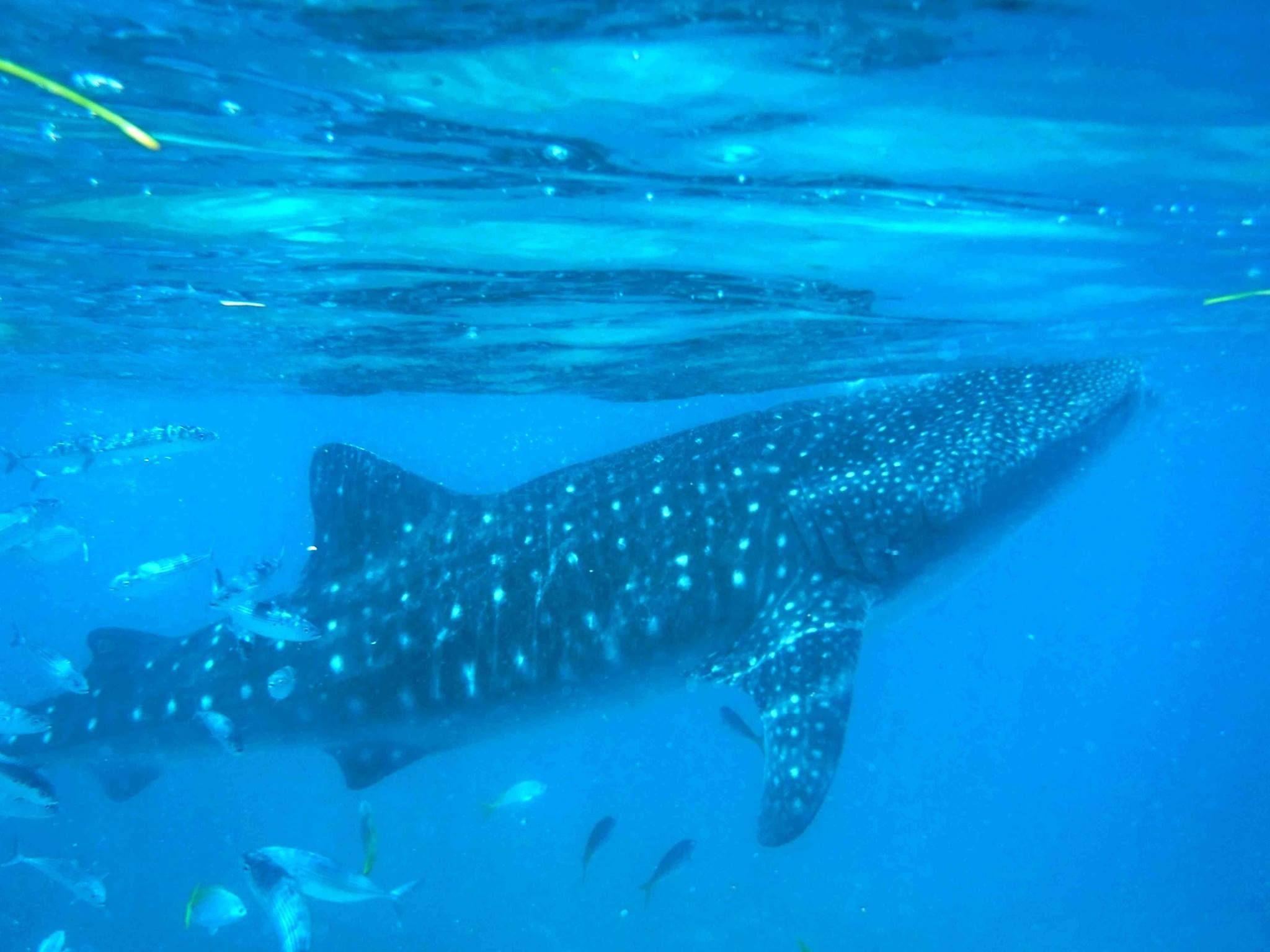 C'est l'une des attractions phares des Philippines : nager avec les requins baleines, une rencontre unique entre joie et déception.