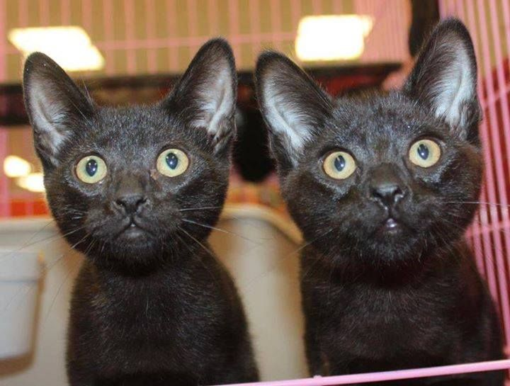 We post a lot about black kitties - but there are a lot of black kitties to post about! The kittens in these pics may or may not still be available, but we ALWAYS have available black kittens. Please share this post with your friends and please keep sharing your pics and stories of your black cats! ||||||| Whiskers, Tails and Ferals offers cat and dog adoptions and TNR'ing and care for feral cat populations for Northern California's Napa County and surrounding areas.
