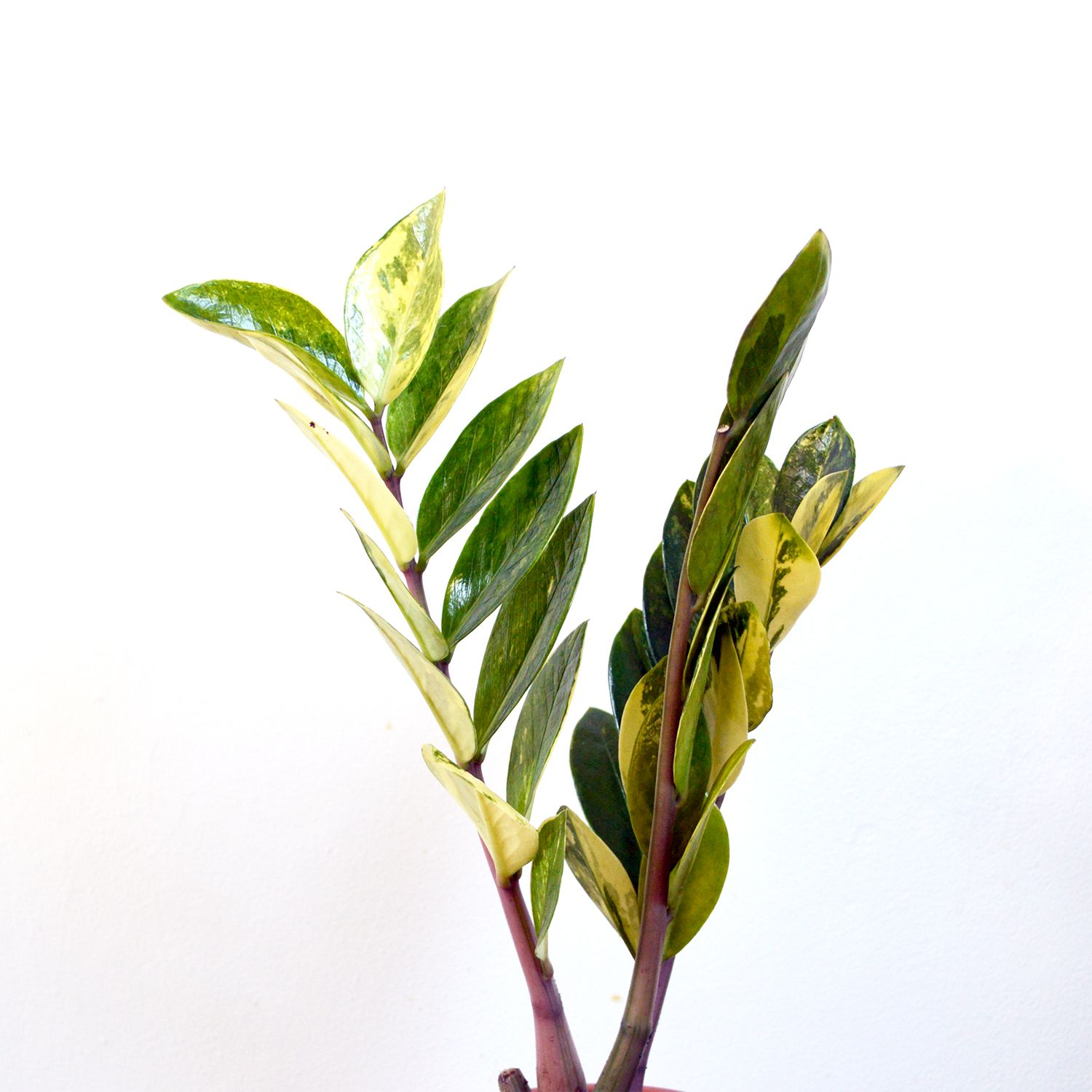 Variegated Zamioculcas ZZ Plant | Viherkasvit | Plants, Zz ... on order birds of paradise plant, zamiifolia house plant, spider house plant, fig house plant, houseplants plant, croton house plant, banana house plant, cast iron plant, rubber house plant, hydrangea house plant, peperomia house plant, fern house plant, zi zi plant, arrowhead house plant, umbrella house plant, avocado house plant, eternity plant, house plant identification succulent plant,