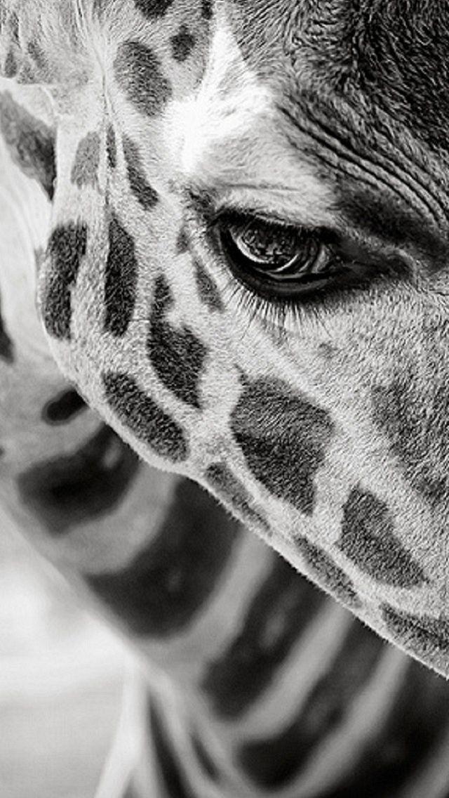Wall Paper Animals Black And White Giraffe Photography Animal Wallpaper
