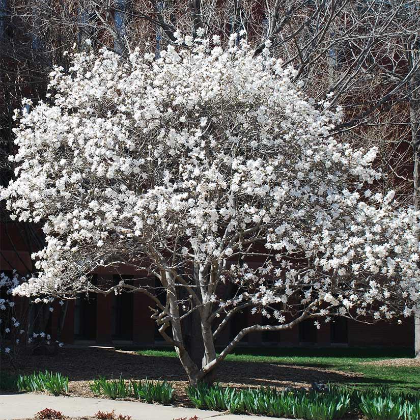 Star Magnolia Tree On The Tree Guide At Arborday Org Magnolia Trees Trees To Plant Japanese Magnolia Tree