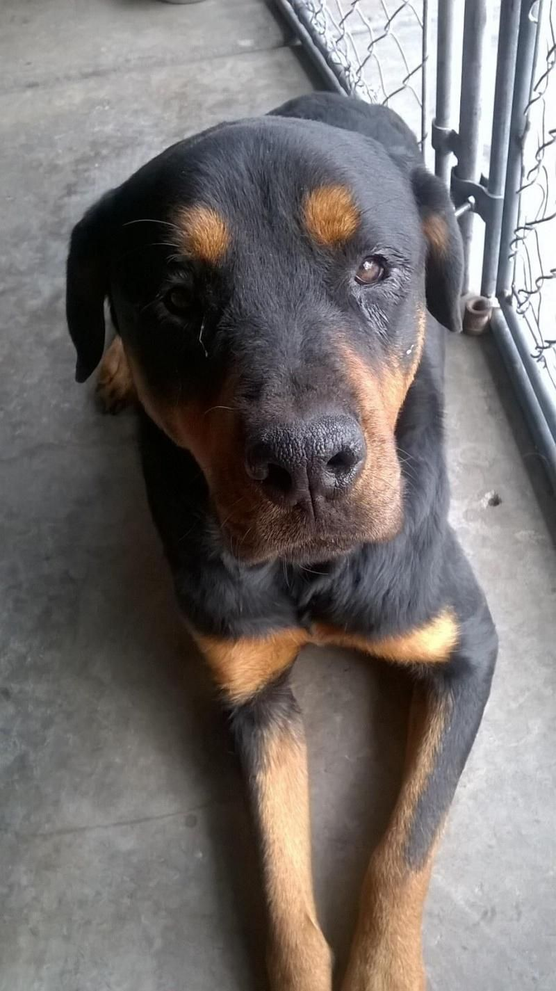 Adopt Titan on Rottweiler, Rottweiler dog, Like animals