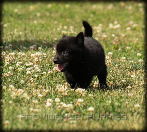 Schipperke puppy for sale in WAYLAND, IA. ADN37973 on