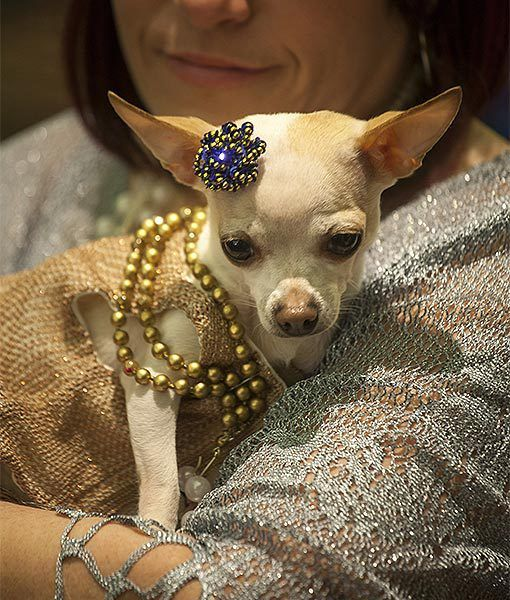 Alliyanna A Stylish Chihuahua From Alabama Attends The New York