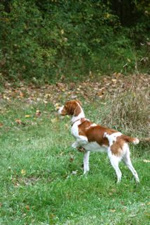 Pointing Something Exciting Brittany Dog Hunting Dogs Brittany Spaniel